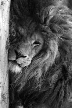 How much beauty can a picture hold...I want to have this on a giant canvas and above my bed! Mom loved lions, so it would be like she is watching over me!!