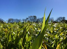 New National Research Initiative Aims to Improve Cover Crops - Foundation for Food and A...