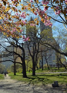 Cherry blossoms in Central Park ~ Spring, NYC. San Remo Apartments in the distance.