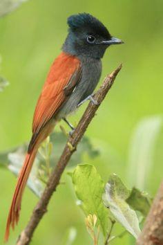 African Paradise Flycatcher (Terpsiphone viridis)