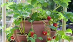 Best way to grow strawberries! See the many ways of growing strawberries in containers, strawberry planters and grow strawberries in pots