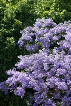 Lilac tree. A favorite scent for sure. Reminds me of grandma's house.