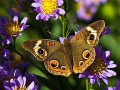 Buckeye Butterfly found at the Butterfly Garden, Norfolk Botanical Garden in Norfolk, Virginia.