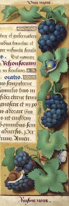 Raisins noirs - Uva nigra (Vitis vinifera L. = grappes de raisin noir. Jussieu dit «Morillon noir») -- Grandes Heures d'Anne de Bretagne, BNF, Ms Latin 9474, 1503-1508, f°156r
