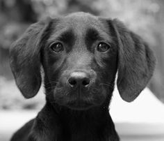 Cute Black puppy face