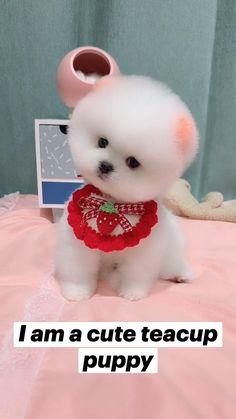 I am a cute teacup puppies