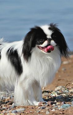 Собака японский хин: фото, характер, советы по уходу