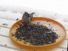 This tufted tit mouse bird came to get lunch on Linda Wearver's deck in Tannersville.