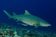 Tiburon segador
