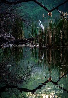 "Great Egret in Central Park ~  by James Aiken ~ Miks' Pics ""Fowl Feathered Friends V"" board @ http://www.pinterest.com/msmgish/fowl-feathered-friends-v/"