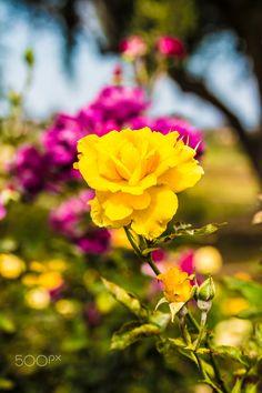 Balboa Rose Garden by Matthew Hayes