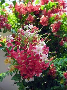 Quisqualis indica (Single petal) aka Rangoon Creeper!! ENLARGE THIS----IT IS SO PRETTY!!