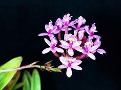 Epidendrum ellipticum1