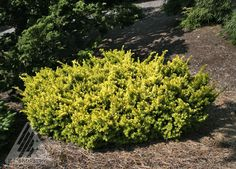 Kigi Nursery - Taxus cuspidata ' Nana Aurescens ' Dwarf Golden Japanese Yew, $15.00 (http://www.kiginursery.com/dwarf-miniatures/taxus-cuspidata-nana-aurescens-dwarf-golden-japanese-yew/)