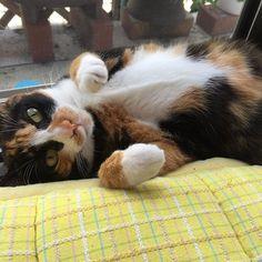 * #gm #☀️ 彼女中心に物事がすすむ 今日この頃❤︎ #愛猫 #溺愛 #おねこさま * #cat #catlovers #catsofinstagram #🐈 #🐱 #猫 #ネコ #にゃんこ #里親 #元野良猫 #ねこ部 #かわいい #癒やし #cute #kitty #ilovecat #instagood #instadaily #いんすたきゃっと #うらめしにゃー #猫好きさんと繋がりたい #followme  #関西ねこ部 #三毛猫 #三毛猫部