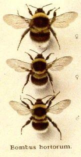 I love bees :) especially my grandpas honey farm I Love Bees, Birds And The Bees, Buzzy Bee, Bees And Wasps, Bee Tattoo, Bee Art, Bee Happy, Save The Bees, Mundo Animal