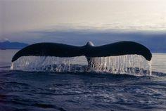 Résultats de la recherche d'images whales rorquals - Yahoo Québec San Diego, Deep Photos, Snorkel, Whale Tail, Under The Sea, Dolphins, Whales, Creatures, Ocean