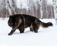 Dez Werwolfsgestalt