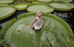 Gigantic lily pads - ive read these things can hold up to 70 lbs but i think i can get on one too!!! someday...