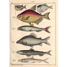 Check out this item at One Kings Lane! Fish, Piranha, Lutefish, 1840