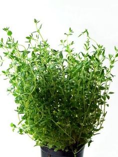 Benefits of a thyme tincture: fungal infections, respiratory disorders, heartburn, as mouthwash, relieve digestive complaints. Take 1/3-->1tsp.
