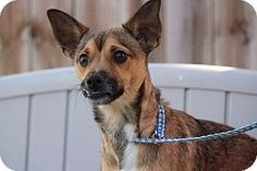 Yardley, PA - Chihuahua/Pug Mix. Meet Niles, a dog for adoption. http://www.adoptapet.com/pet/17321254-yardley-pennsylvania-chihuahua-mix