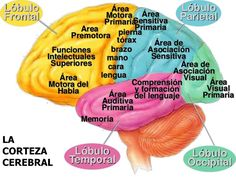 Brain Facts, Science Facts, Ap Psych, Big Data Technologies, Brain Memory, Medical Anatomy, Brain Gym, Coaching, Med Student
