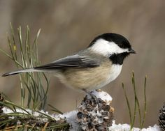 Black-capped Chickadee; at my black oil sunflower seed feeder/suet, constantly. One of my all time favorite birds! Chick-a-dee-dee-dee.