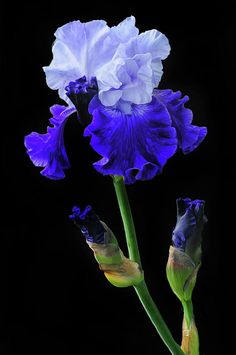Blue Iris Flowers, Exotic Flowers, Amazing Flowers, Beautiful Flowers, Iris Garden, Blue Garden, White Iris, Flower Aesthetic, Watercolor Flowers