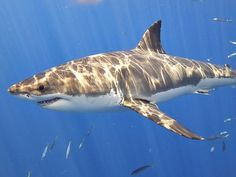 Great White Shark Facts! - known for its size (it can grow over half the size of a bus) and its ferocious appetite (which sometimes includes a human arm or leg!