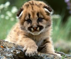 Baby Mountain Lion
