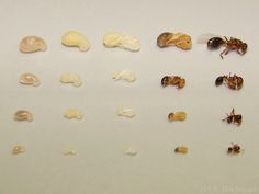 Life cycles of an ant colony