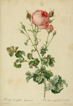 "Rosa Centifolia Bipinnata  by P. J. Redoute  (1821). Plate from ""Les Roses"""