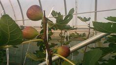 2013.11月のグリーンエコスター出庭農園のイチジク⑤