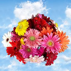 Send Assorted Gerbera Flowers | Global Rose
