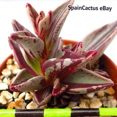 Lenophyllum guttatum RED-VARIEGATE