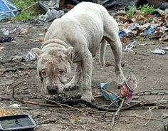 A dog was recently rescued from an auto yard where he was forced to live chained to a van in a pile of trash and broken glass. Praise his rescuers for giving him a second chance at life and bringing charges against his owners.