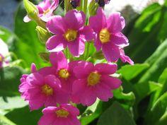Utah Wildflowers - Parry's Primrose blooms between June and September