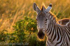 Der erste Bart.   Zebra.   Masai Mara.   Kenia.    Mehr bärtige Bilder unter www.shop.ingogerlach.de