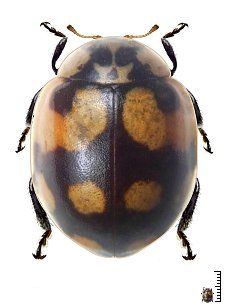 Adalia gratiosa - Venezuela - Coccinellidae