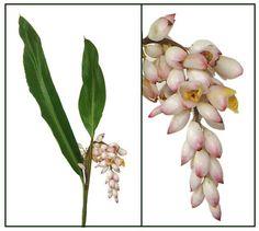 Bunga areca catechu areca nut betel nut philippine medicinal langkawas na pula alpinia zerumbet shell ginger philippine medicinal herbs philippine alternative ccuart Image collections