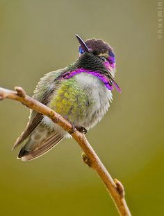 costa's hummingbird (calypte costae) | vancouver, bc. | punkbirdr | Flickr