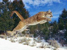 Record animaux cougare