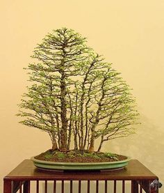 Bonsai. Arte Bonsai (Facebook)