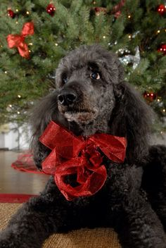Beautiful Black Poodle at Christmas ☆
