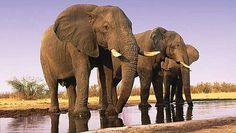 Elephants never forget and so we shouldn't forget the elephants. Read this article to find out how you can help the elephant poaching problem in Africa. #endangered #animals #elephant #africa