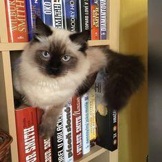 The bookshelf cat.