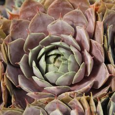 Hens and Chicks, Sempervivum Red Heart from Netherland Bulb Company - Colorful, low-growing and extremely drought-tolerant, stonecrops, or sedums, are ever-popular easy-care groundcovers. Attractive, succulent foliage is available in many different colors, with some varieties changing from one shade to another as the season progresses. They require full sun and excellent drainage, but most stonecrops can tolerate some foot traffic, poor soil and forgetful waterers.