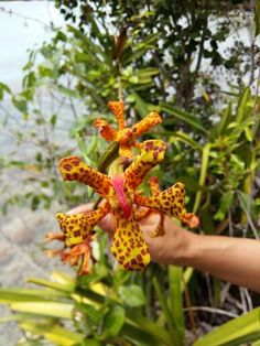 Many wild orchid can be found around Togian.