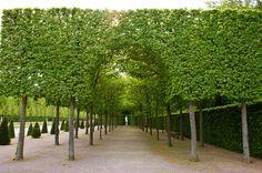 Carpinus hedges (1) | Karl Gercens | Flickr